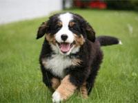 Un cucciolo di bernese