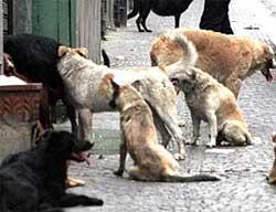 Un branco di randagi in Sicilia