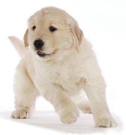 cucciolo_labrador