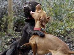 Combattimento fra cani